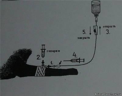 Схема установки капельницы собаке или кошке.
