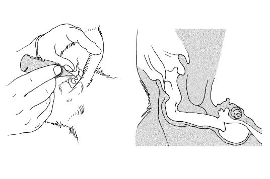 Схема чистки ушей у кошки и собаки